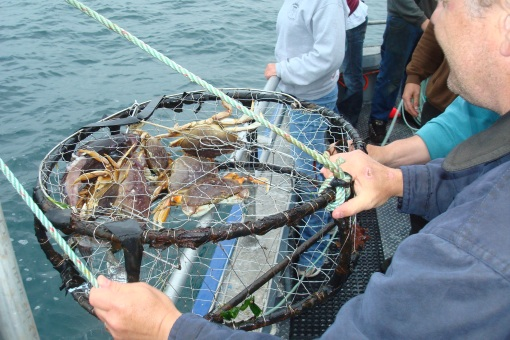 Hauling in some of our crabs.